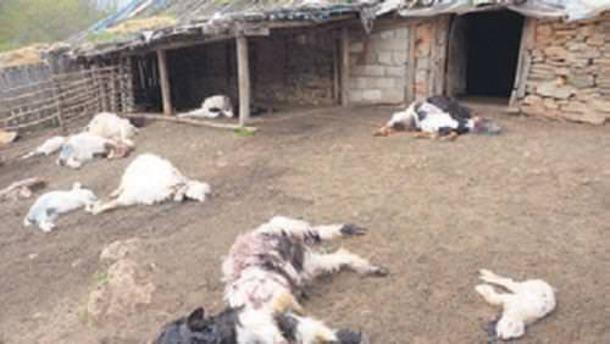 Babası ile tartıştı 239 keçiyi telef etti