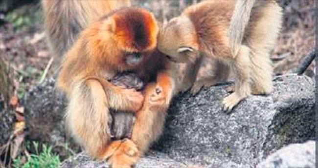 Ebe maymun görüntülendi