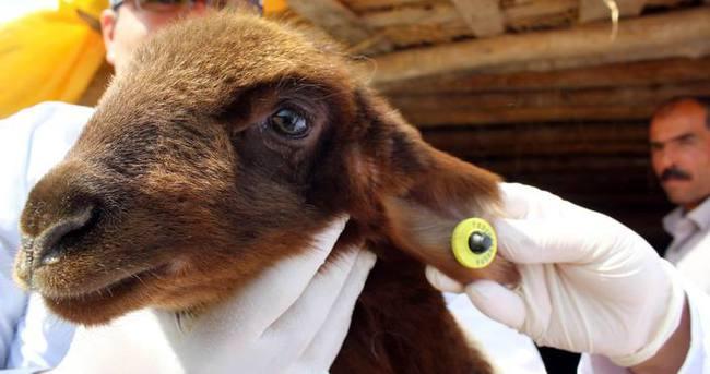 Keçi ve koyunlara çip takılıyor