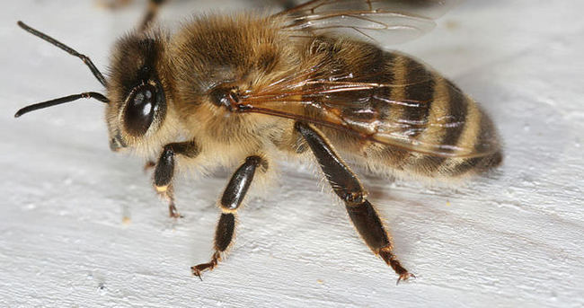 Kansere karşı 'arı zehri' önerisi