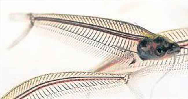 'Kansız Balık'ı görmek isteyenler Aqua Vega'da