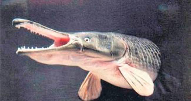 Timsah balığına ziyaretçi akını
