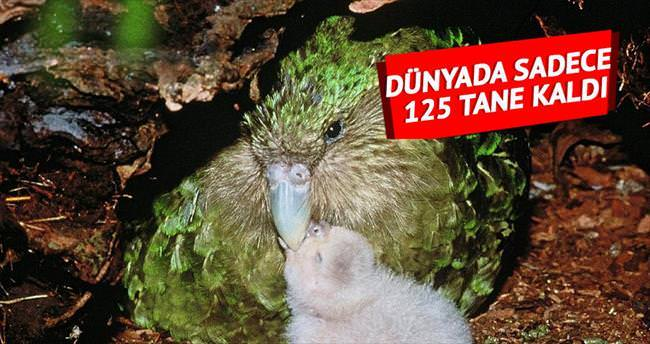 Dünyada sadece 125 kakapo kaldı