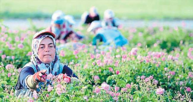 Gül çiçeğinde kritik süreç