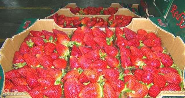 Adana ve Mersin'den 3 milyon dolarlık çilek ihracatı
