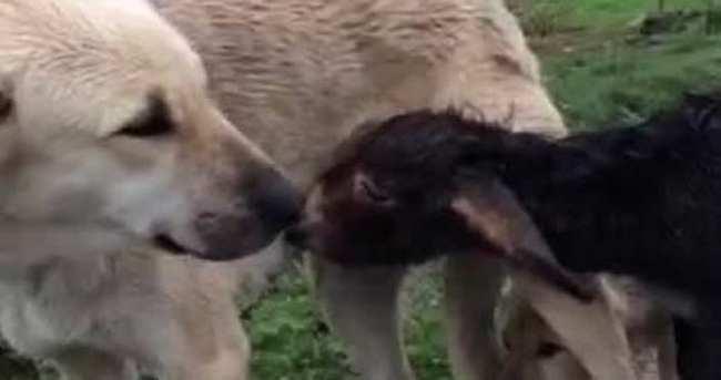 Sıpaya Kangal köpeği annelik ediyor