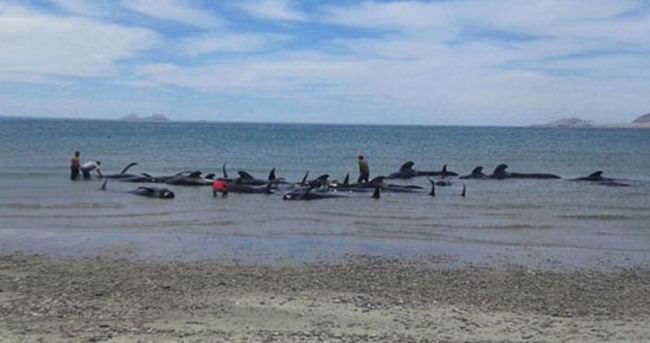 Meksika'da pilot balinalar karaya vurdu