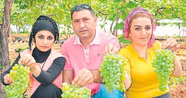 Tarsus'ta örtü altında ilk üzüm hasadı başladı