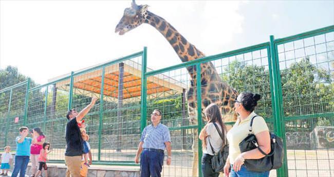 Zürafa Şakir düğün hazırlığında