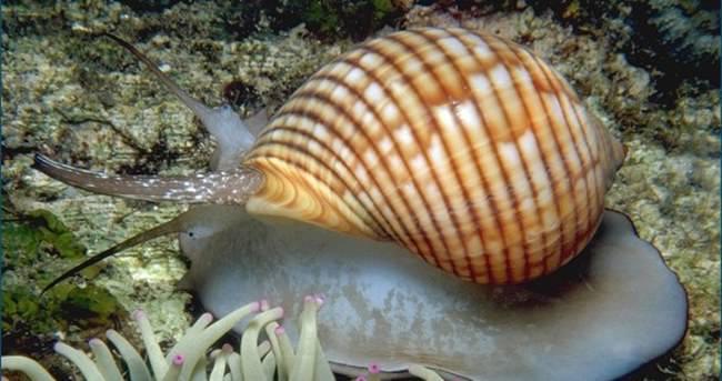 Deniz salyangozu kanser hastalarına umut oldu