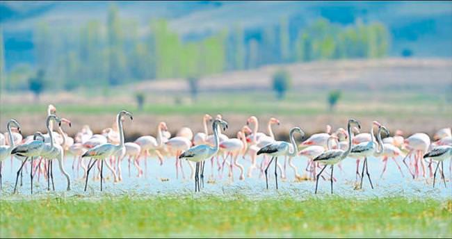 Flamingolar terk etmemiş