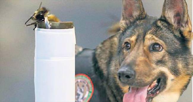 Narkotik köpeklere rakip 'bal arısı'