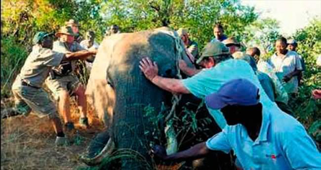 Avcıların vurduğu fil, yardım istedi