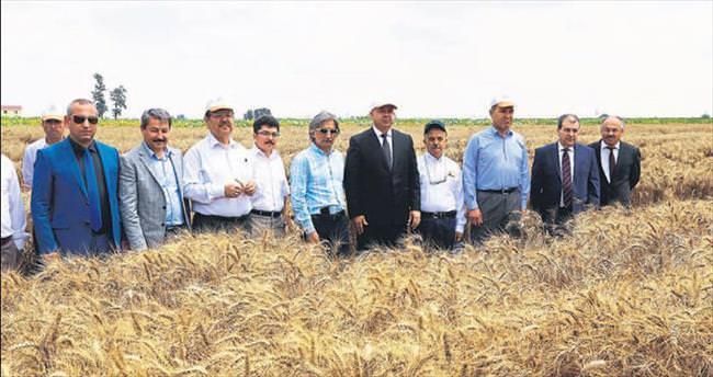 Dört yeni buğday çeşidi çiftçiye tanıtıldı