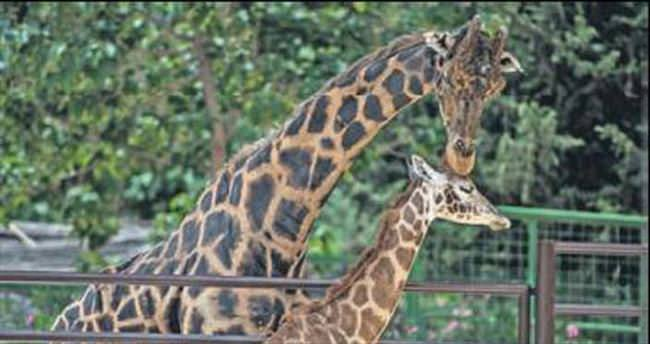 Zürafa Şakir muradına erdi