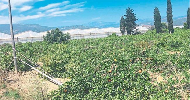Portakal ağaçları yerle bir