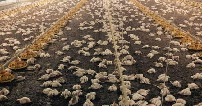 Havlandırma bozuldu, 28 bin tavuk telef oldu
