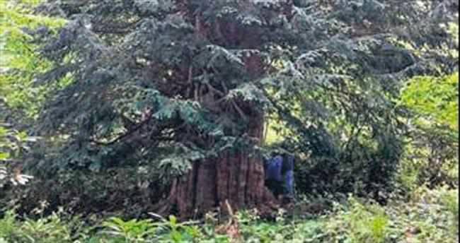 Firavunlarla aynı havayı solumuş ağaç Türkiye'de!