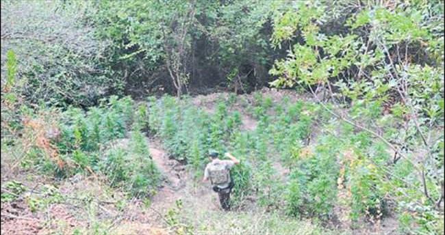 Ormanlık alanda esrar ürettiler