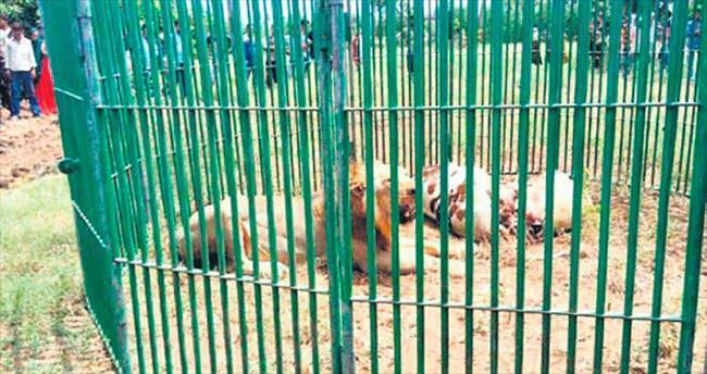 Katil zanlısı 18 aslan 'gözaltında'