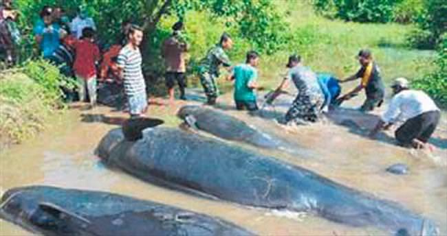 Kıyıya vuran 32 balinadan 10'u öldü