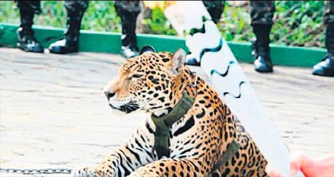 Rio Olimpiyatı'nın jaguarını öldürdüler