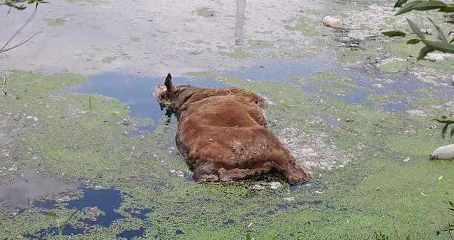 Ceyhan Nehri'ne büyükbaş hayvan cesedi attılar