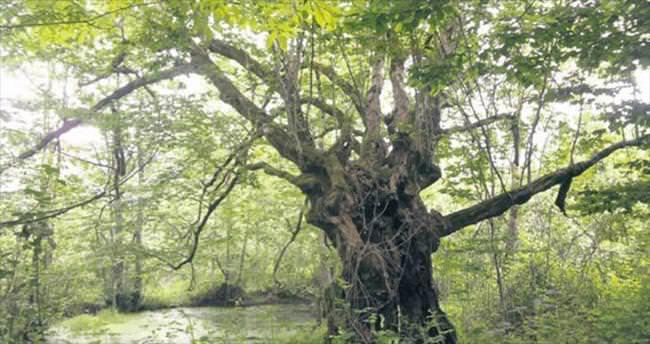 Yüzyıllara meydan okuyan ağaçlar