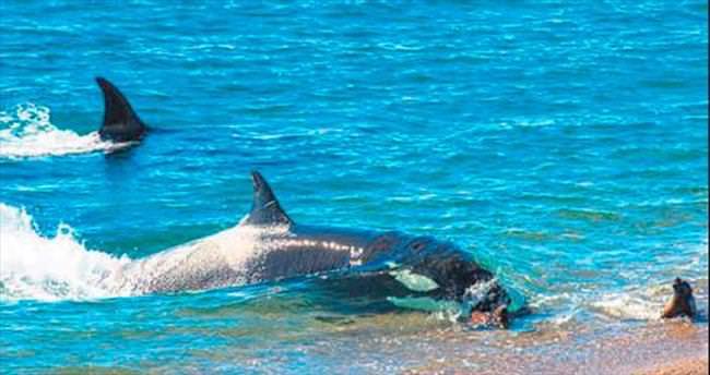 Katil balina ekmek için 'aslanın' peşinde