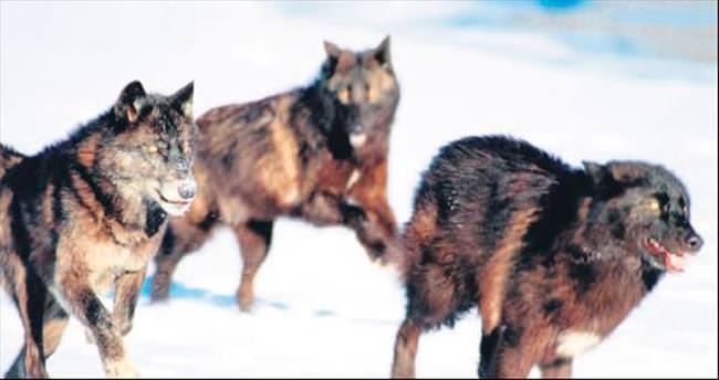 Aç kurtlar koyun sürüsüne daldı