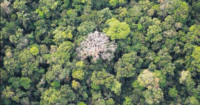 Amazon'daki ağaçları kataloglamak için üç asır gerek
