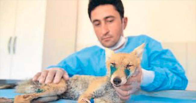 Yaralı yavru tilki tedaviye alındı