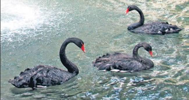 Kuğulupark'taki yavru kuğular artık yetişkin