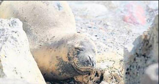 Akdeniz foklarına resmi özgürlük