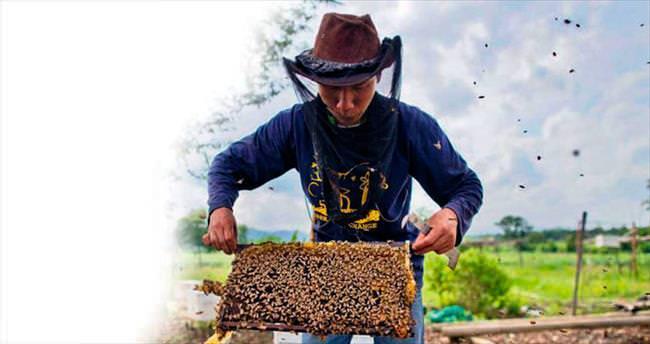 Zika paniği milyonlarca arıyı öldürdü