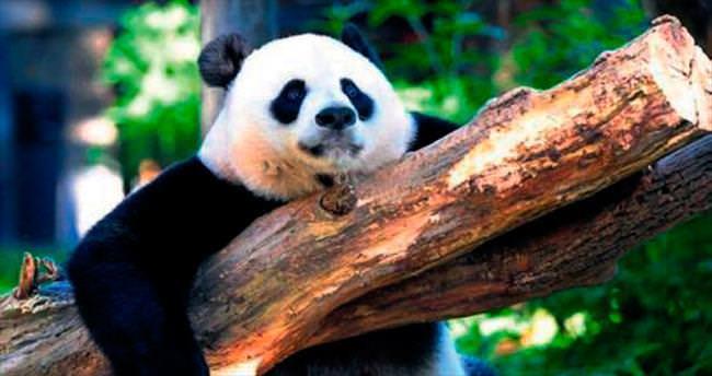 Pandalar kurtuldu