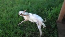 Bu keçi rol kesiyor