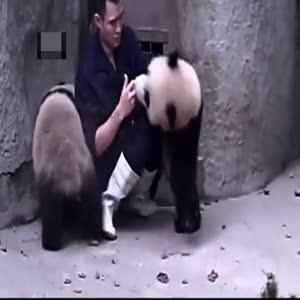 Pandaların veterineri ikna çabaları...