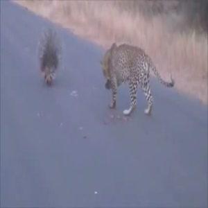 Kirpi leoparı böyle uğraştırdı
