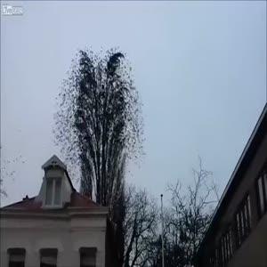 Ağaçta toplanan kuş sürüsü herkesi şaşırtıyor!