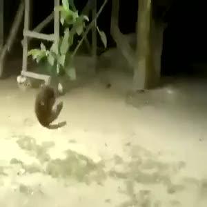 Kediyi çılgına çeviren maymun