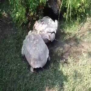 Arkadaşı ters dönünce kaplumbağa herkesi şaşırttı