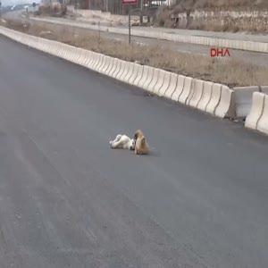 Yavru köpek yaralı köpeğin başından ayrılmadı