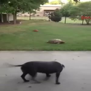 Köpekle kaplumbağanın dostluğu