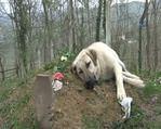 Kangal köpeği 1 yıldır sahibinin mezarı başından ayrılmıyor