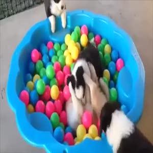 Top havuzunda oyun oynayan köpekler