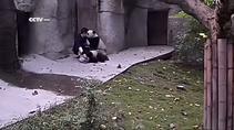 Bakıcının pandalarla imtihanı