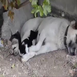 Anneleri ölen kedilere 'Pamuk' isimli köpek bakıyor
