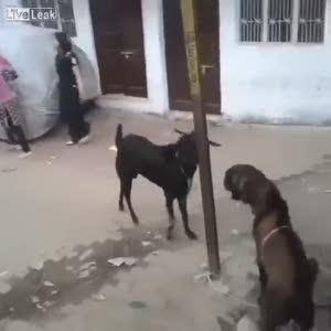 Genç kızı yıkan keçi!