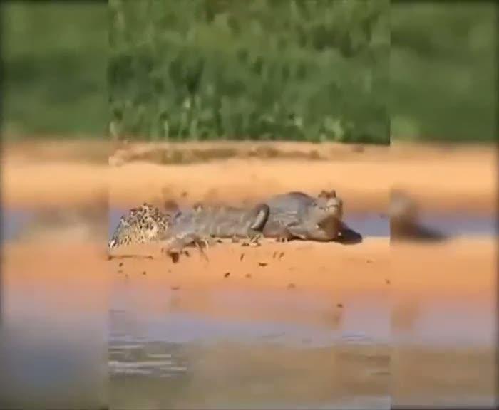 Jaguarın inanılmaz timsah avı